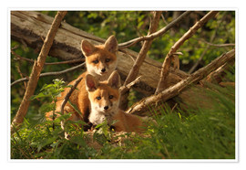 Póster Young foxes