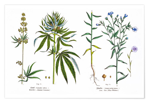 Póster Cannabis and Flax
