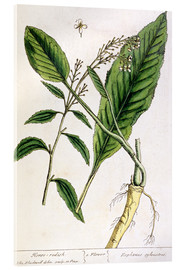 Cuadro de metacrilato  Horseradish, plate 415 from 'A Curious Herbal', published 1782 - Elizabeth Blackwell