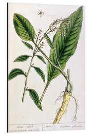 Cuadro de aluminio  Horseradish, plate 415 from 'A Curious Herbal', published 1782 - Elizabeth Blackwell