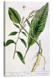 Lienzo  Horseradish, plate 415 from 'A Curious Herbal', published 1782 - Elizabeth Blackwell