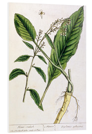 Cuadro de PVC  Horseradish, plate 415 from 'A Curious Herbal', published 1782 - Elizabeth Blackwell