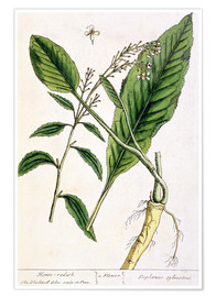 Póster Horseradish, plate 415 from 'A Curious Herbal', published 1782