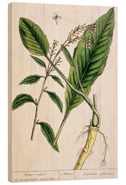 Cuadro de madera  Horseradish, plate 415 from 'A Curious Herbal', published 1782 - Elizabeth Blackwell