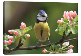 Lienzo  Blue Tit on apple blossoms - Uwe Fuchs
