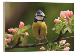 Madera  Blue Tit on apple blossoms - Uwe Fuchs