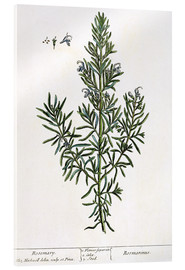Metacrilato  Rosmarinus Officinalis, from 'A Curious Herbal', 1782 - Elizabeth Blackwell
