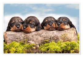 Póster Dachshund puppy siblings
