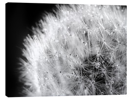 Lienzo  Dandelion dew drops black and white - Julia Delgado