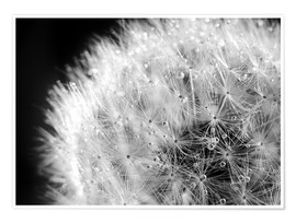 Póster Dandelion dew drops black and white