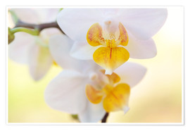 Póster  White orchids against soft yellow background - Julia Delgado