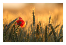 Póster  poppy in the morning light - Uwe Fuchs