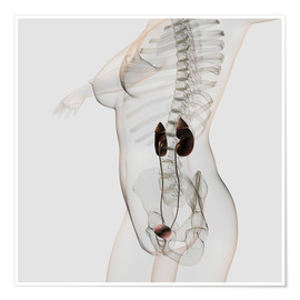 Póster  Three dimensional view of female urinary system. - Stocktrek Images