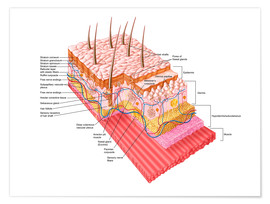 Póster  Anatomy of the human skin - Stocktrek Images
