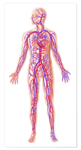 Póster Anatomy of human circulatory system.