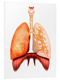 Cuadro de PVC  Anatomy of human respiratory system, front view. - Stocktrek Images