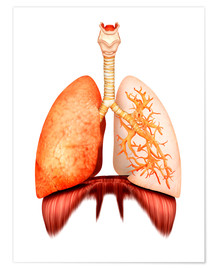 Póster  Anatomy of human respiratory system, front view. - Stocktrek Images