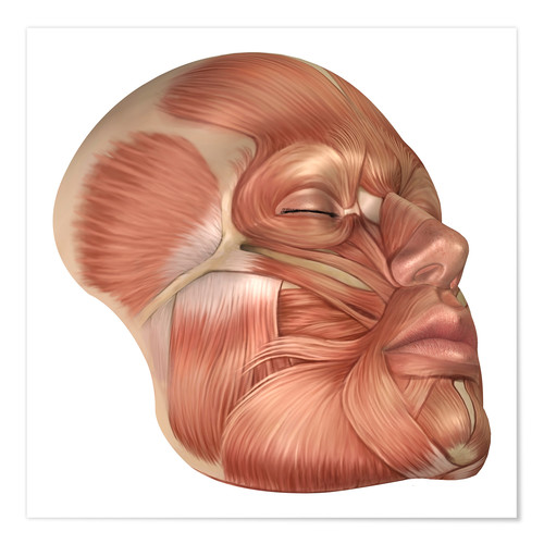 Póster Anatomy of human face muscles