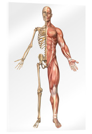 Cuadro de metacrilato  The human skeleton and muscular system, front view - Stocktrek Images