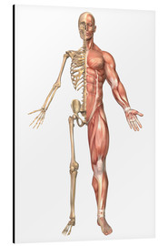 Cuadro de aluminio  The human skeleton and muscular system, front view - Stocktrek Images