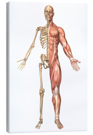 Lienzo  The human skeleton and muscular system, front view - Stocktrek Images