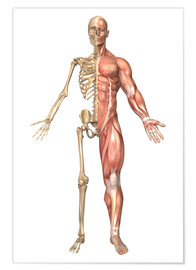 Póster  The human skeleton and muscular system, front view - Stocktrek Images
