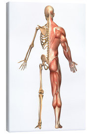 Lienzo  The human skeleton and muscular system, back view. - Stocktrek Images