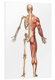 Cuadro de PVC  The human skeleton and muscular system, back view. - Stocktrek Images