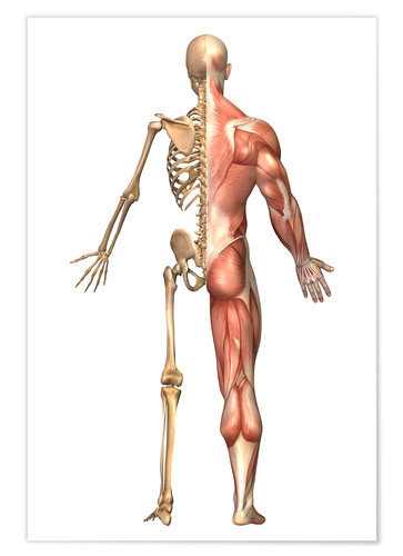 Póster The human skeleton and muscular system, back view.