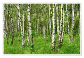 Póster Birch forest