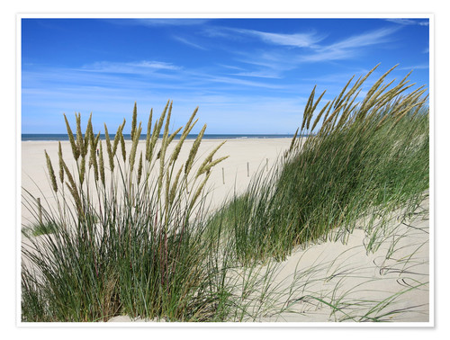 Póster thriving beach grass in the dunes