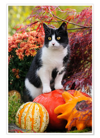 Póster  Tuxedo cat on colourful pumkins in a garden - Katho Menden