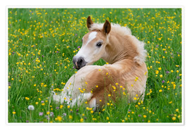 Póster Haflinger horse, a cute foal resting in a flowering meadow