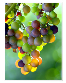 Póster  wine grapes - GUGIGEI