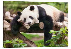 Lienzo  Giant panda sleeping - Jan Christopher Becke