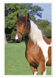 Póster  Brown and white piebald horse - Greg Cuddiford