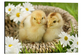 Cuadro de aluminio  Chicks in a basket - Greg Cuddiford