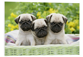 Cuadro de PVC  Three pug pups - Greg Cuddiford
