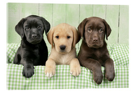 Cuadro de metacrilato  Three Labradors - Greg Cuddiford