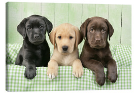 Lienzo  Three Labradors - Greg Cuddiford