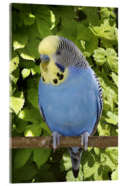 Cuadro de metacrilato  Budgie on branch - Greg Cuddiford