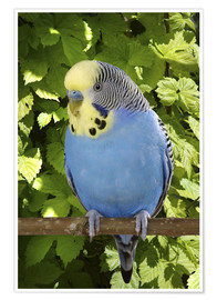 Póster  Budgie on branch - Greg Cuddiford