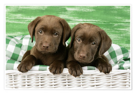 Póster Chocolate Labrador puppies