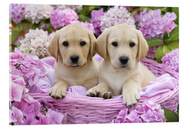 Cuadro de metacrilato  Labrador puppies in a basket - Greg Cuddiford