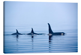 Lienzo  Three Killer whales with huge dorsal fins - Jürgen Ritterbach