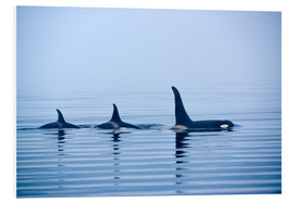 Cuadro de PVC  Three Killer whales with huge dorsal fins - Jürgen Ritterbach