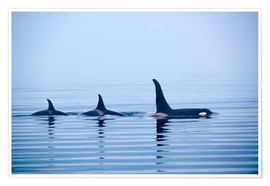 Póster  Three Killer whales with huge dorsal fins - Jürgen Ritterbach