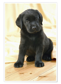Póster  Black Labrador puppy - Greg Cuddiford