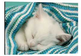 Cuadro de aluminio  White kitten sleeping under stripy blanket - Greg Cuddiford