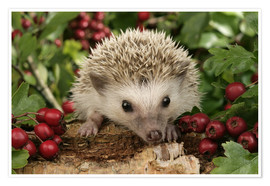 Póster  Hedgehog with berries - Greg Cuddiford